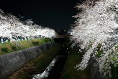 輝桜 (きおう)
