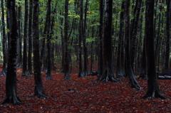 夕暮れのブナ林