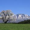 陽桜 (ようおう)