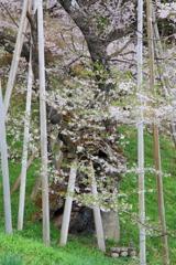 咲春 (しょうしゅん)