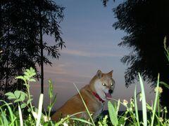 黄昏の竹林に佇む柴犬