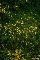 金色の絨毯Ⅱ
