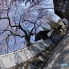 枝垂れ桜少し咲く