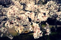 クロスプロセス桜