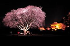 偕楽園大夜桜