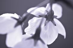 モノクロ桜
