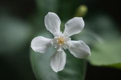 セイロン・ライティア(Ceylon wrightia)