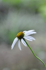 Echinacea purpurea Ⅱ