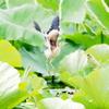 ヨシゴイ ⑧ 飛翔