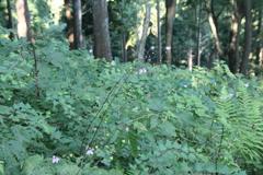 レンゲショウマの森