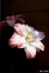 アマリリス 今年も咲いてくれました(10年目)