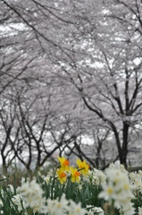 桜並木の下