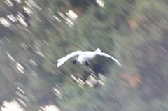 白鳥 ~飛来~