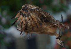 フクロウの飛翔! ~足輪がなければ・・