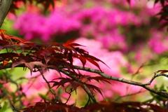 春紅葉とツツジ ①