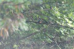 真ん中で給餌中、見守る2羽の計カワセミ4羽(分かります?)