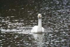 白鳥 ~気持ちよく泳ぎながら向かってきました~