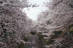 圧巻! 桜の並木道