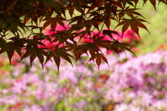春紅葉とツツジ ②
