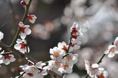 梅の見ごろ(^^)