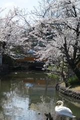 白鳥 ~桜と・・~