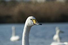 白鳥 ~綺麗な顔です(^^)~
