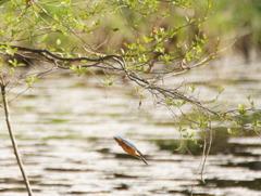 カワセミ ~桜散る池にダイブ!~