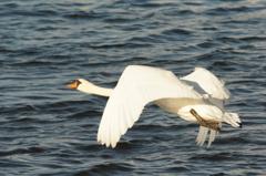カメラマンをチラ見する白鳥