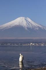 白鳥 ~富士の麓~