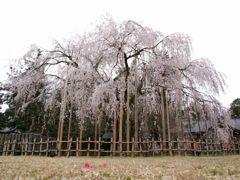 足羽神社 しだれ桜