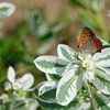 白雪草と蝶