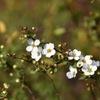雪柳、少し早く咲いたね。