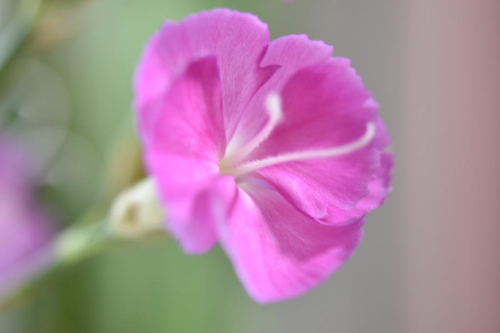 淡いピンクのなでしこ。
