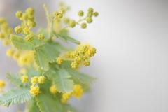 ミモザの花蕾。