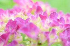 にぎやかな紫陽花。