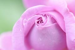 薔薇は香り豊かに咲いて。