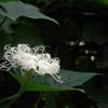 花は真白なカラスウリ。