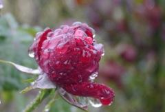 Rain Drops ラズベリーのよう。