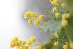 ミモザの花蕾 2
