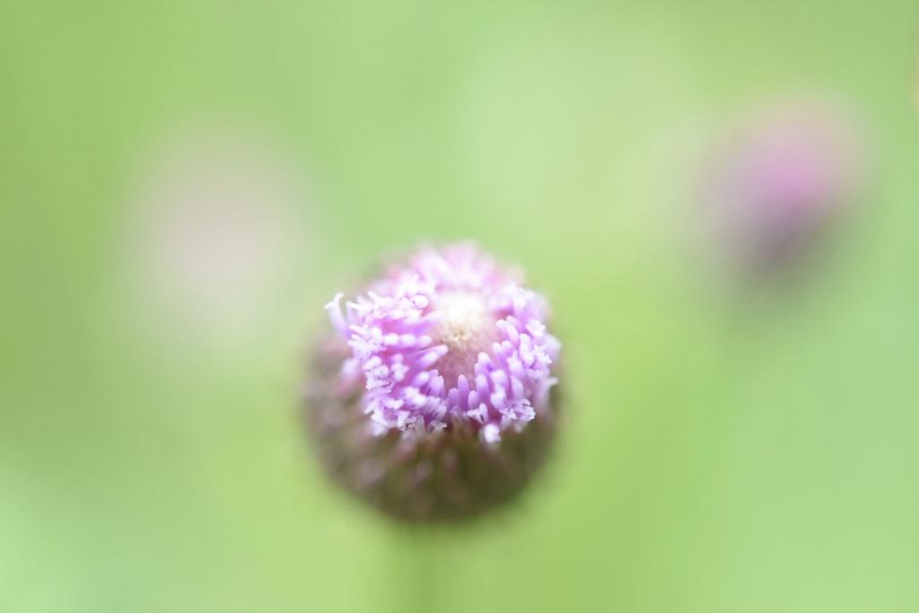 キツネアザミの花蕾。