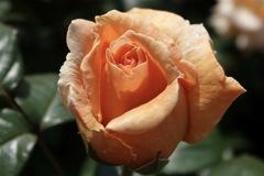 陽光の中で咲いていた薔薇