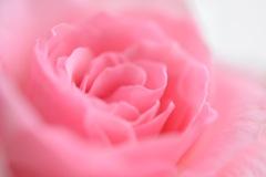 ミニ薔薇はとろけそう。