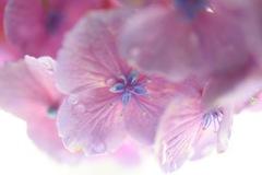 楽しませてくれた、紫陽花。