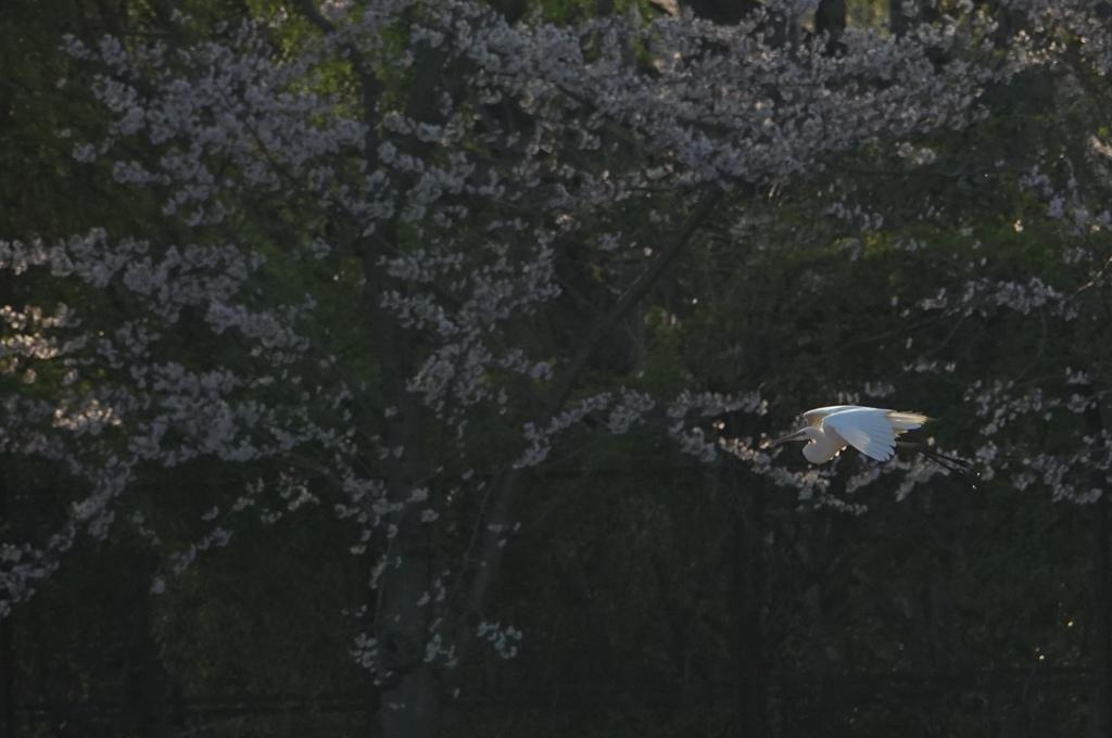 春の夕暮れに鷺。