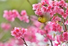 桜とメジロで春を見る