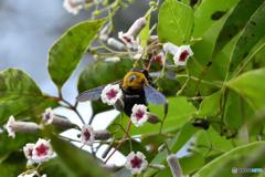 クマバチさんと花