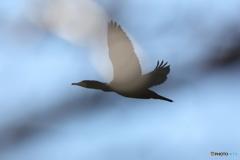 カワウさんの飛翔