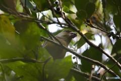 木の実を食べるカワラヒワさん