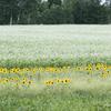 日輪草と蕎麦花