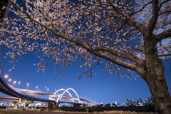 The sight of cherry blossoms by night